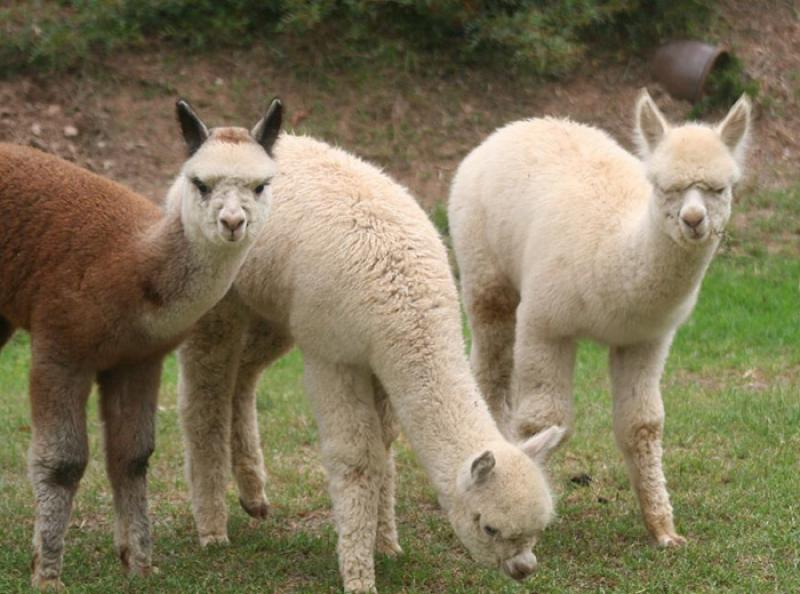 wether alpacas